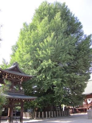 飛騨国分寺の大いちょう