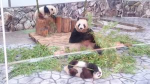 アドベンチャーワールドの双子のパンダ「桜浜(おうひん)」、「桃浜(とうひん)」